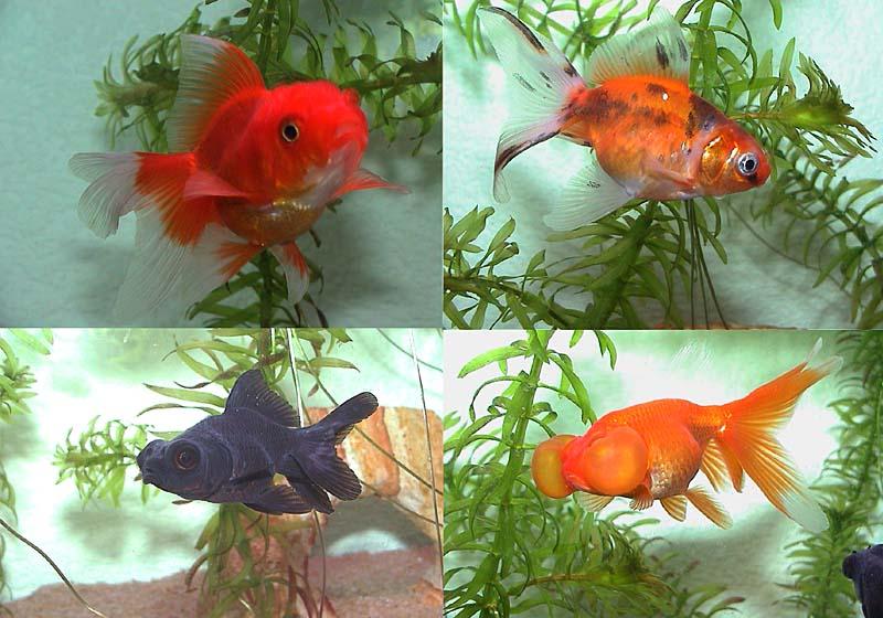 Aquariophilie for Aquarium pour poisson rouge japonais